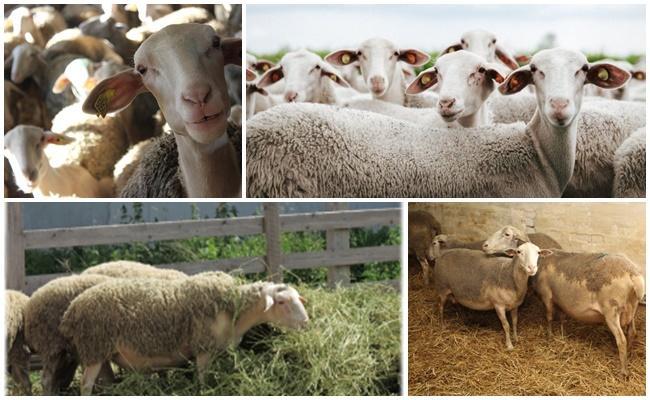 много овец