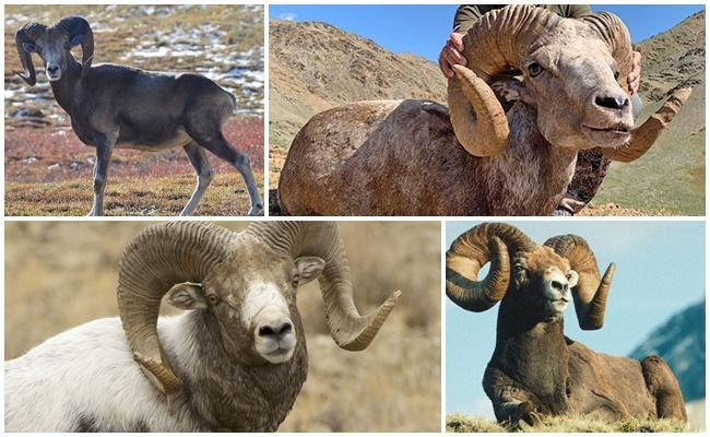 Аргали предок овцы