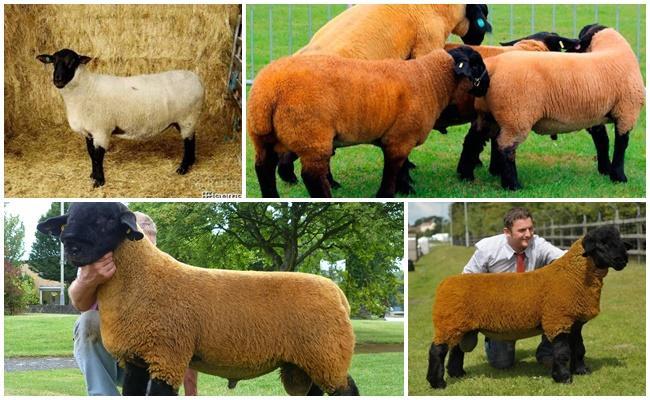суффолк овцы