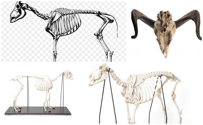 скелет овцы