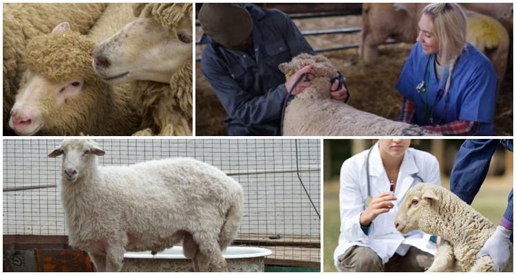 лечение овцы