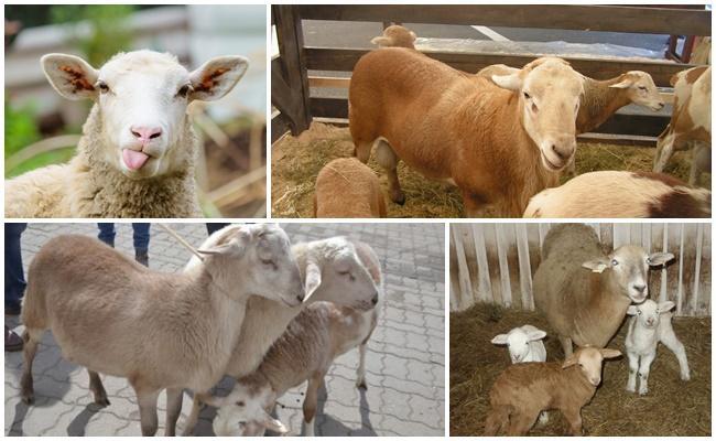 катунская порода овец