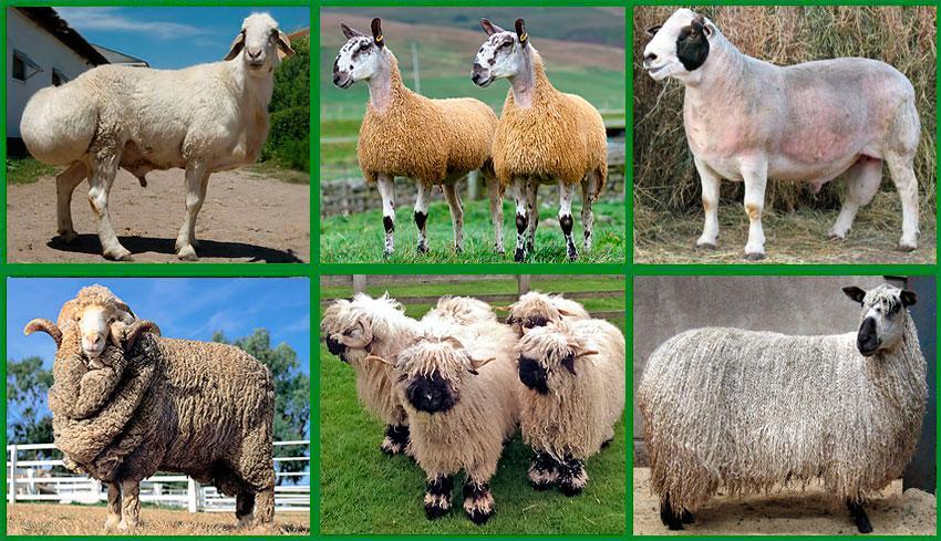 разведение мясных овец