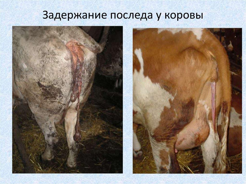 задержание последа у коров