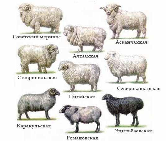 Советские мериносы