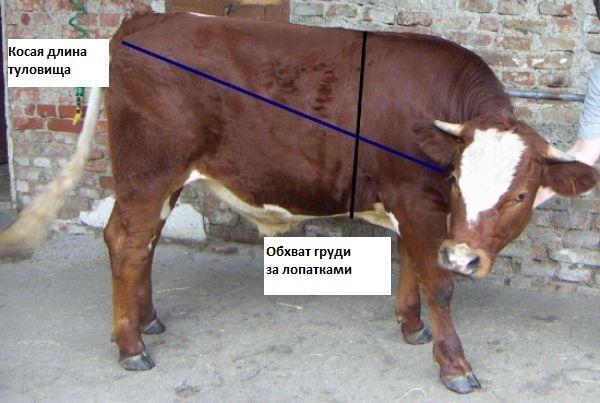 взвешивание теленка
