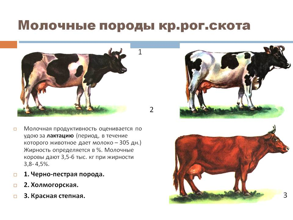 молочность у коров определяется