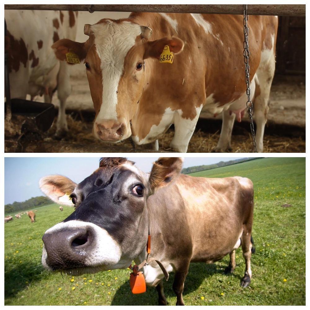 доение коровы