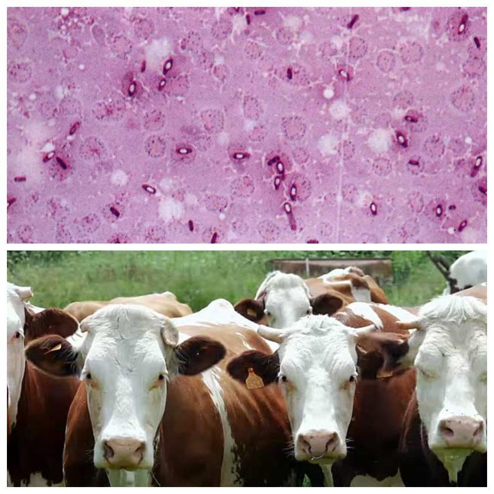 корова скрипит зубами