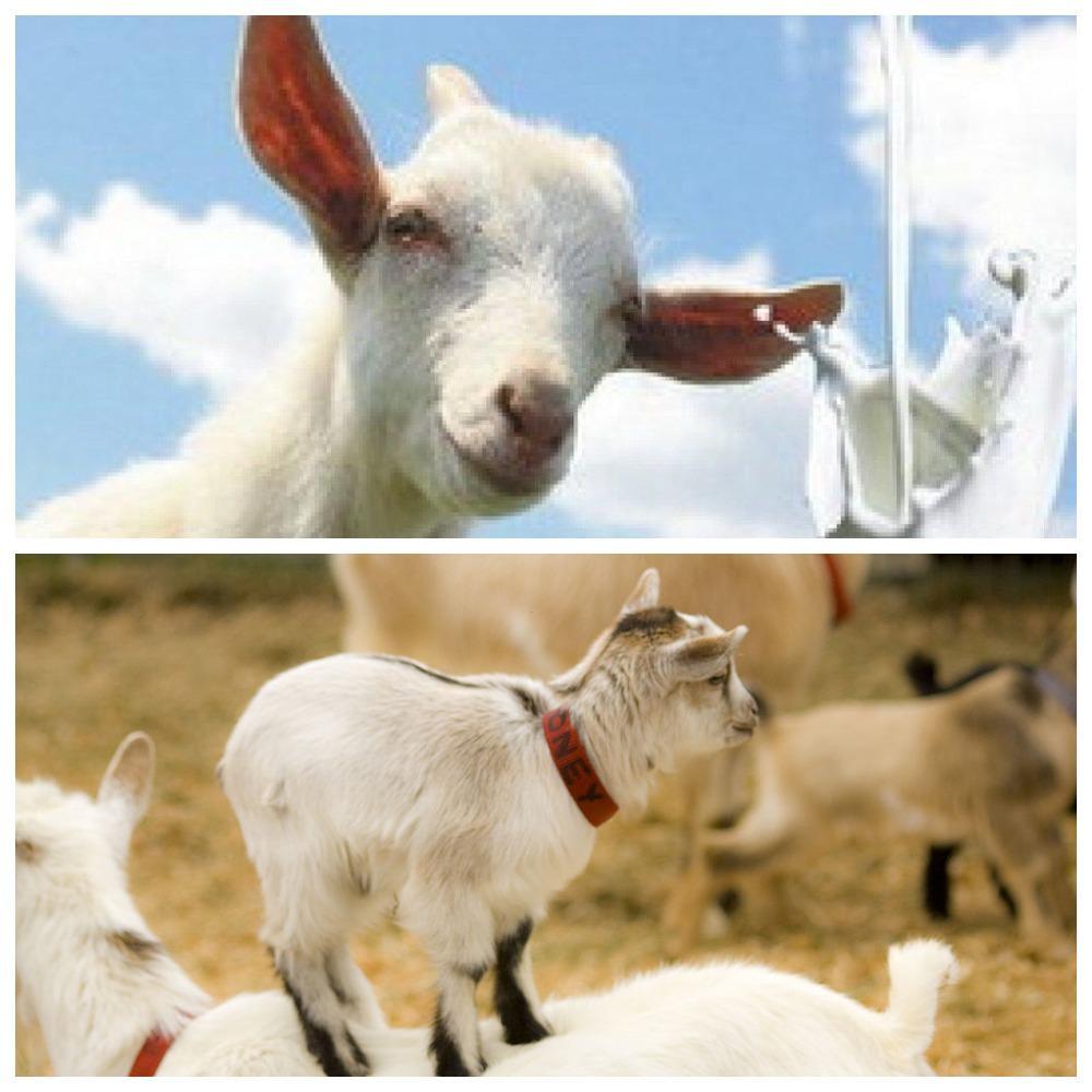 молоко козы