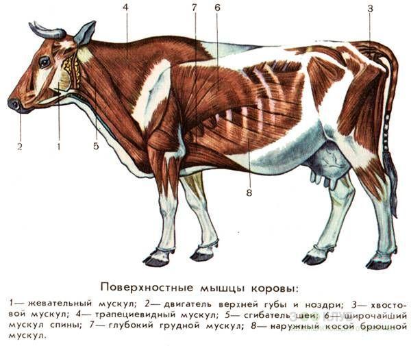 мышцы коровы