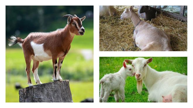 Причины и симптомы эндометрита у коз, методы лечения и профилактика