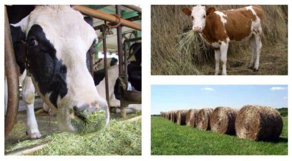 сено для коровы