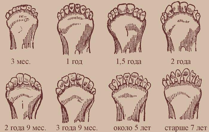 зубы коровы