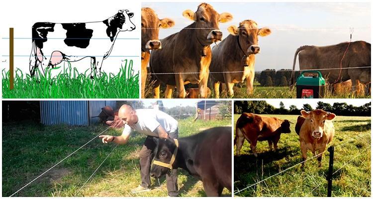 электропастух для коров