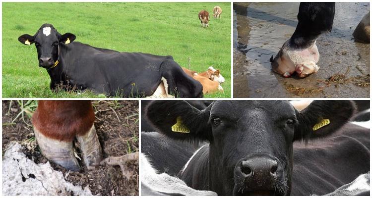 копыта коровы