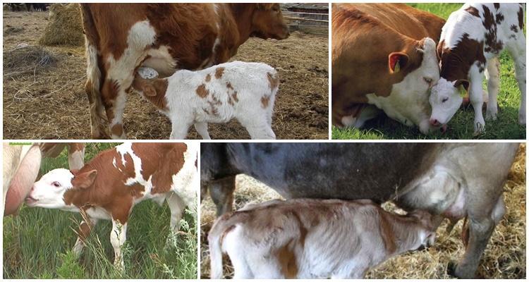 теленок и корова