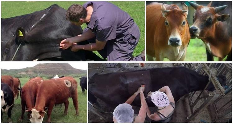 операция у коровы