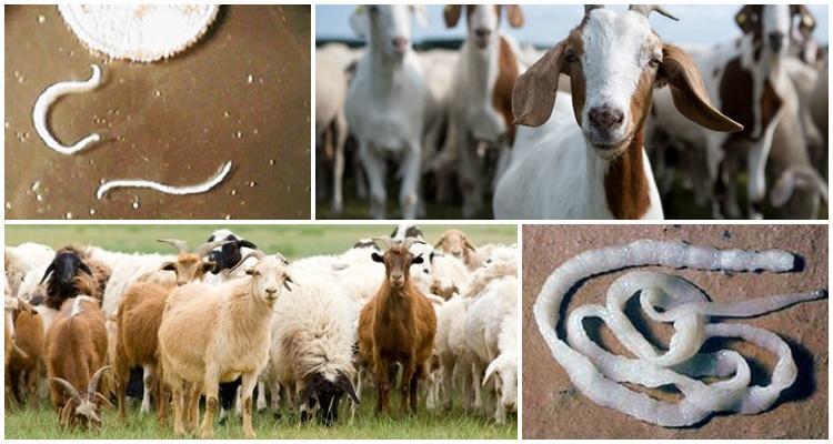 Признаки и симптомы глистов у коз, чем лечить и меры профилактики
