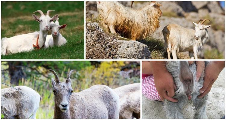 как стимулировать козу к охоте
