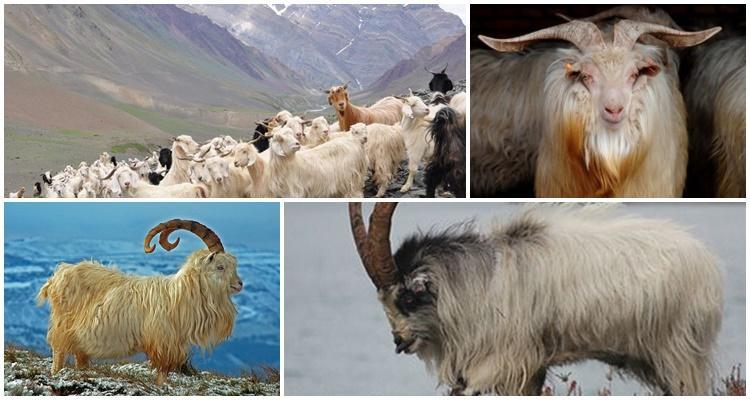 кашмирские козы