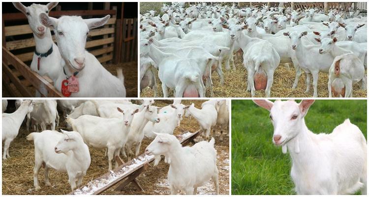 Температура содержания коз зимой и возможен ли окот в холодном помещении