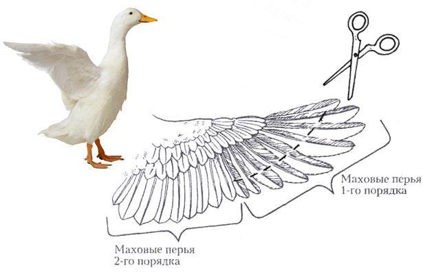 обрезка крыльев
