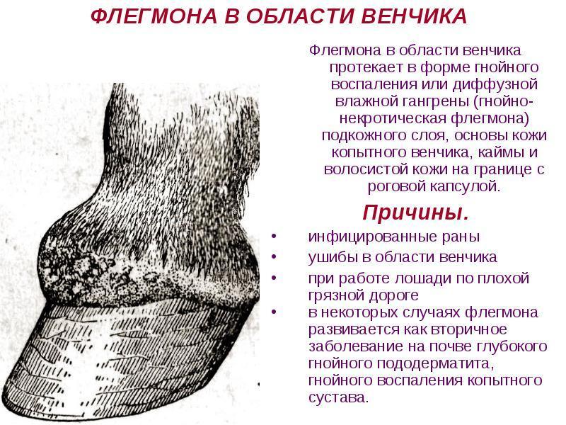 флегмона венчика