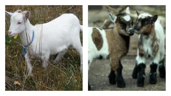 маленькие козы