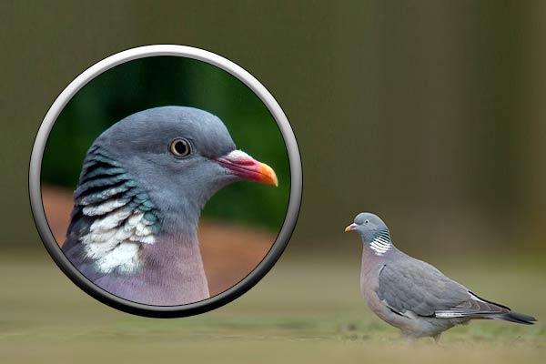 голубь вяхирь