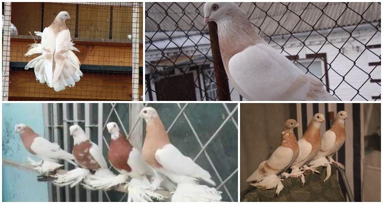 голуби агараны