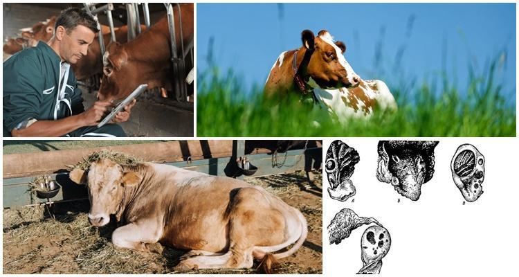 много коров