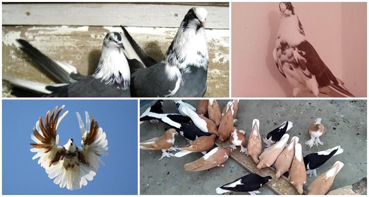 голуби серпастые