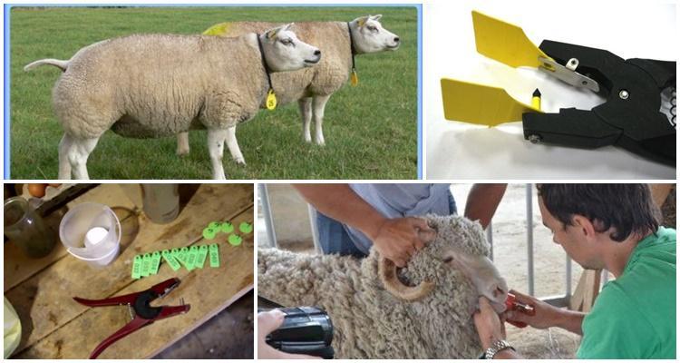 биркование овец