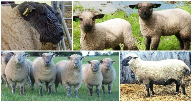 гемпширская порода овец