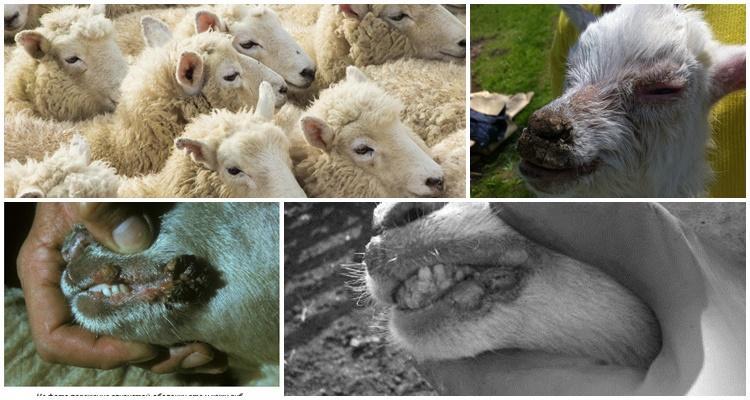 контагиозная эктима овец