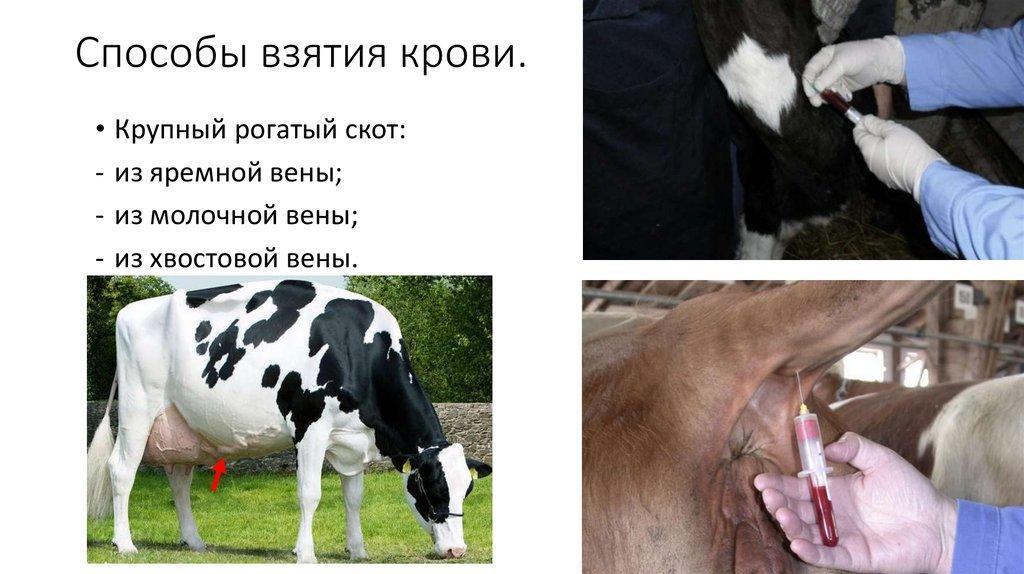 взятие крови у коровы