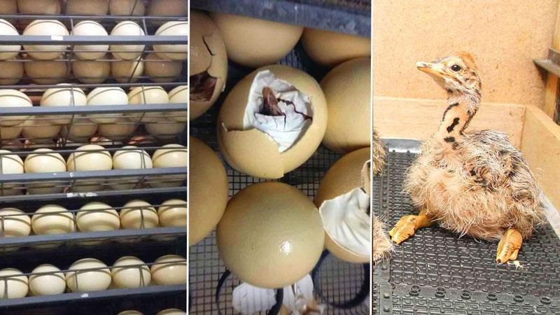 яйца страусов
