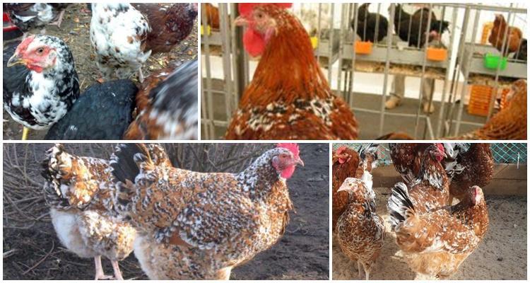 ленинградская ситцевая порода кур