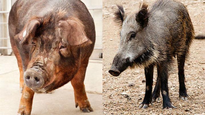 свинья и кабан