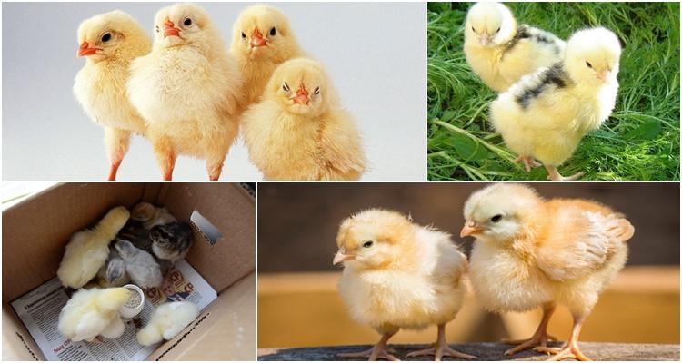 почему цыплята клюют друг друга до крови что делать