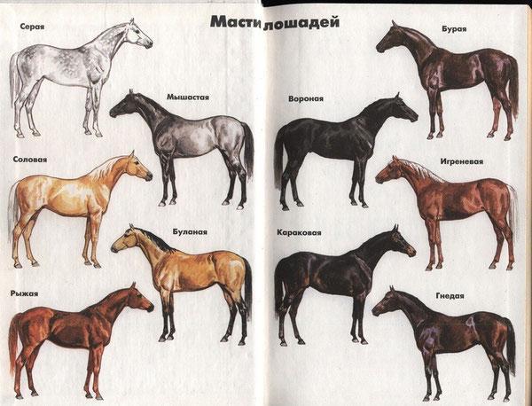 сизая масть лошади
