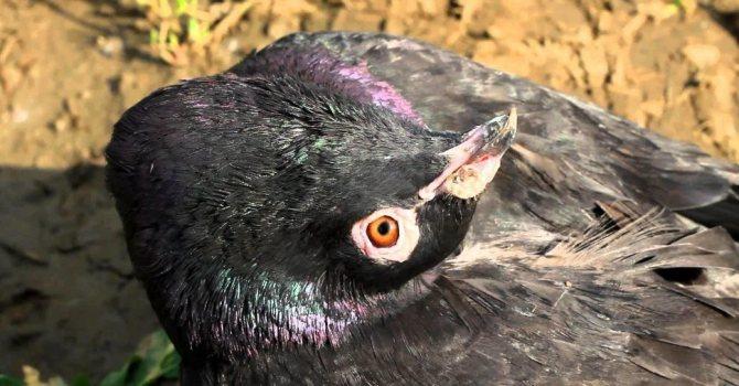 через сколько дней пройдет хрип у голубей
