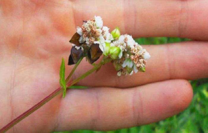 цветение гречке