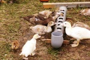 Нужно ли уткам и утятам оставлять на ночь поилки с водой и их размещение