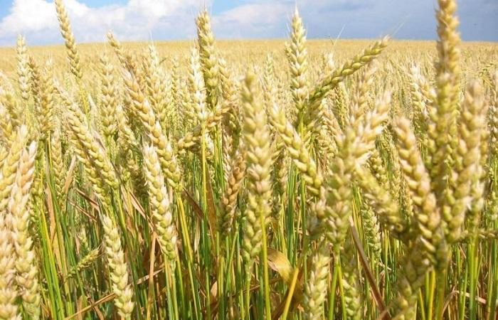 пшеница спеет