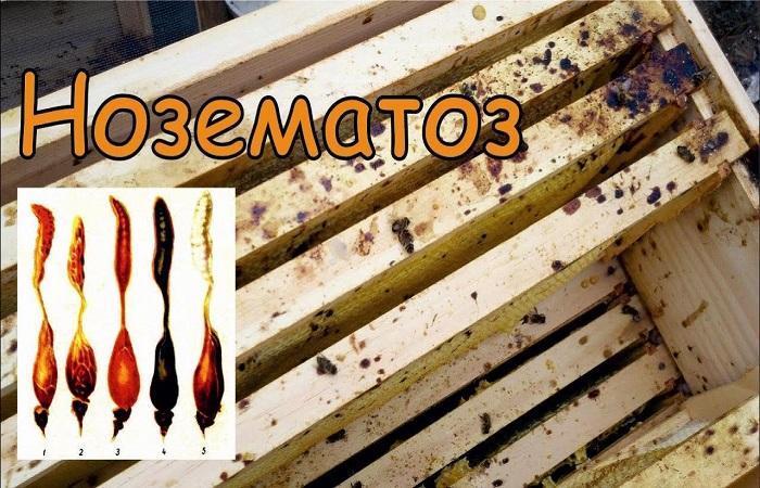 Симптомы нозематоза у пчел и методы лечения болезни, профилактика