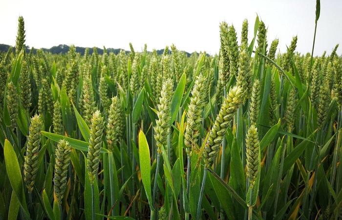 пшеница растет