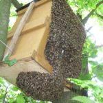 поймал рой пчел