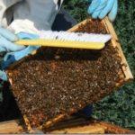 метод таранова против роения пчел